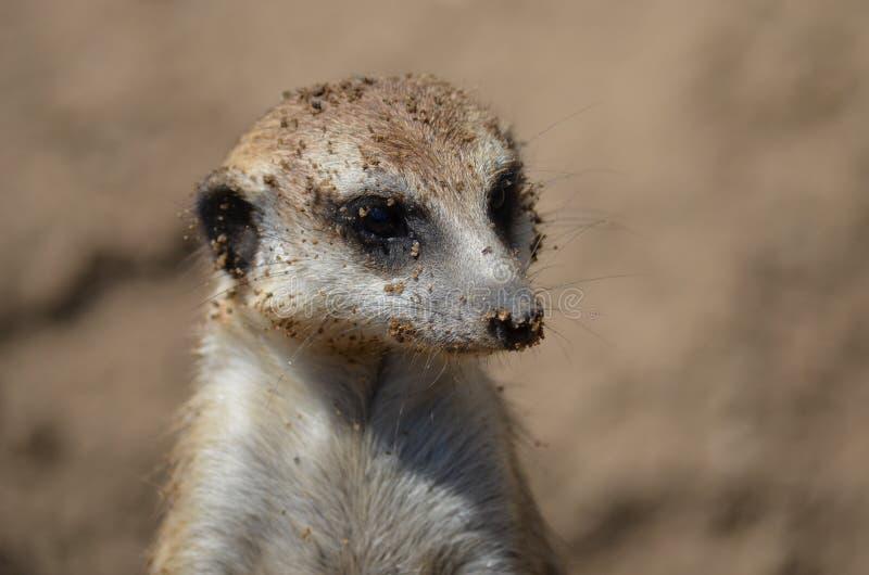 Meerkat στοκ φωτογραφίες με δικαίωμα ελεύθερης χρήσης