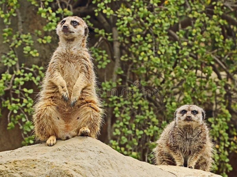 Meerkat stock afbeeldingen