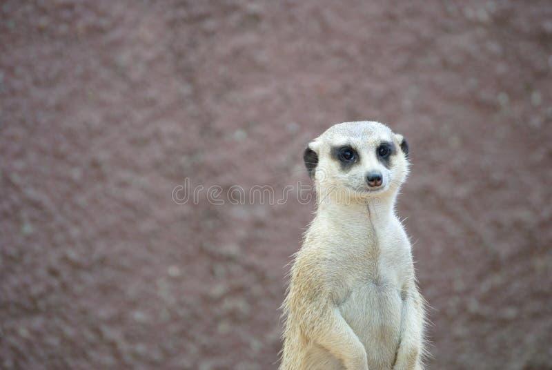 Meerkat royalty-vrije stock foto's