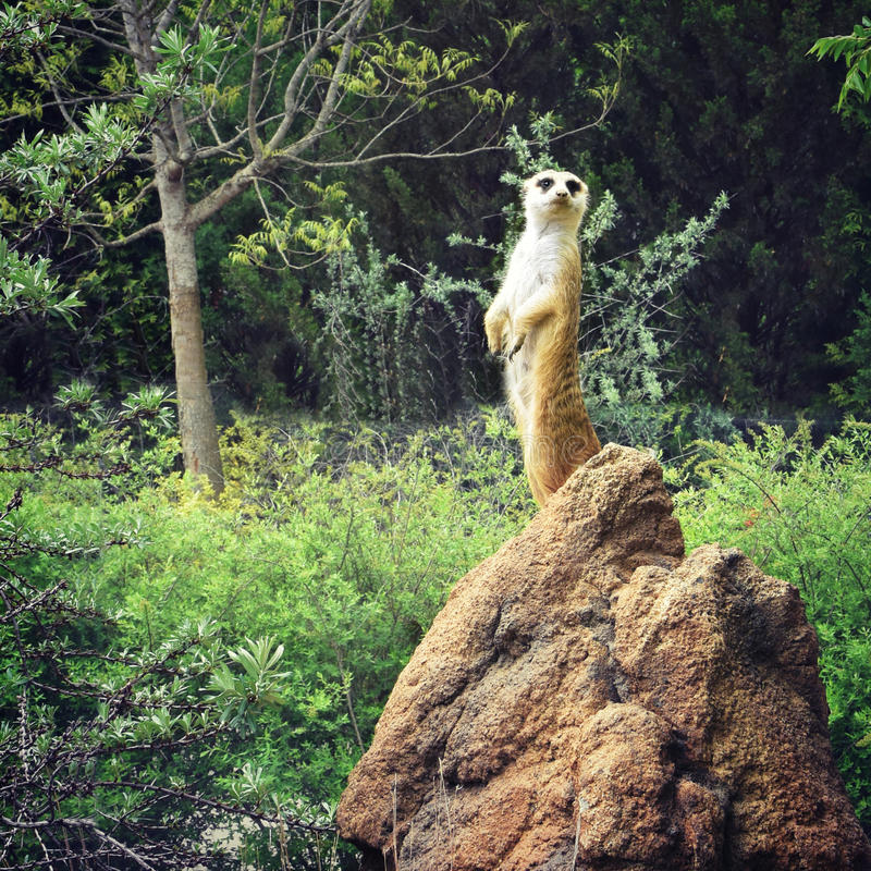 Meerkat stockfotos
