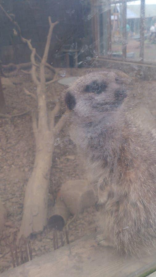 Meerkat foto de archivo libre de regalías
