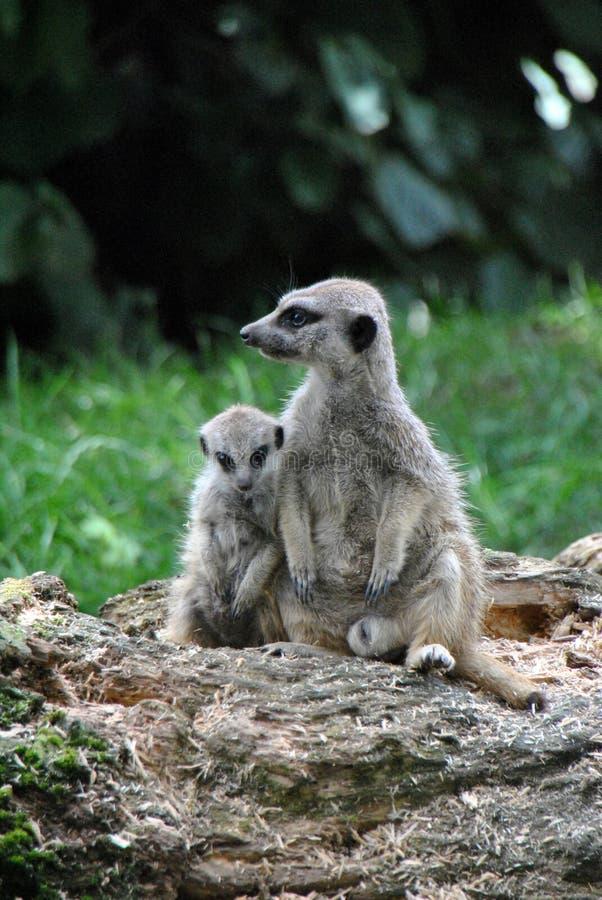 Meerkat acima crescido que afaga com um meerkat do bebê imagem de stock royalty free