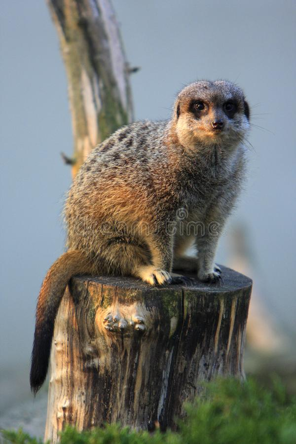 Meerkat adulte simple dans le jardin zoologique photos stock