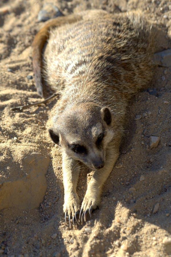 Meerkat africain sauvage (suricatta de Suricata) photo stock