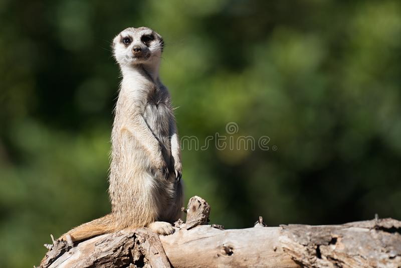 Meerkat, aka suricate, sitting upright on the tree trunk royalty free stock photos