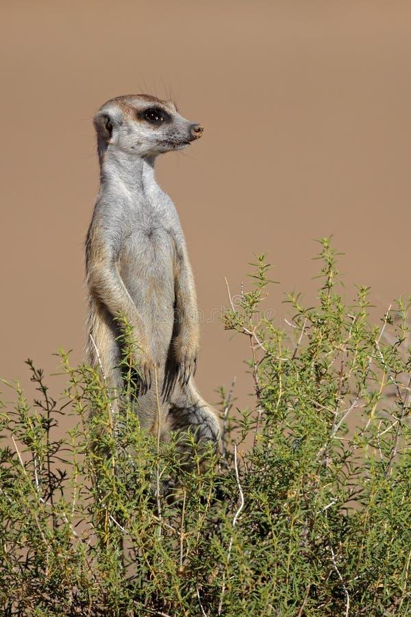 Meerkat alerta foto de archivo
