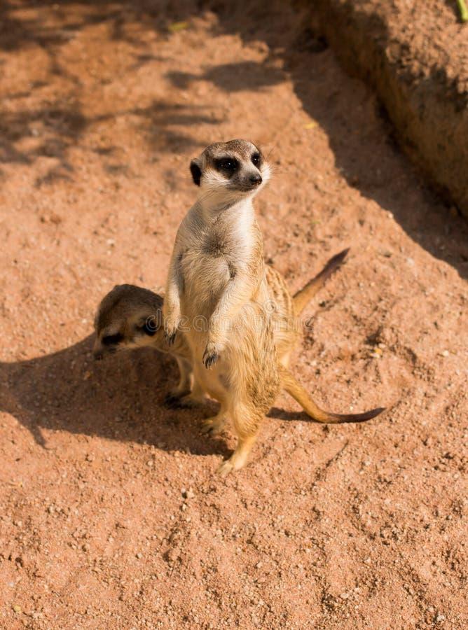 Meerkat alerta imagen de archivo