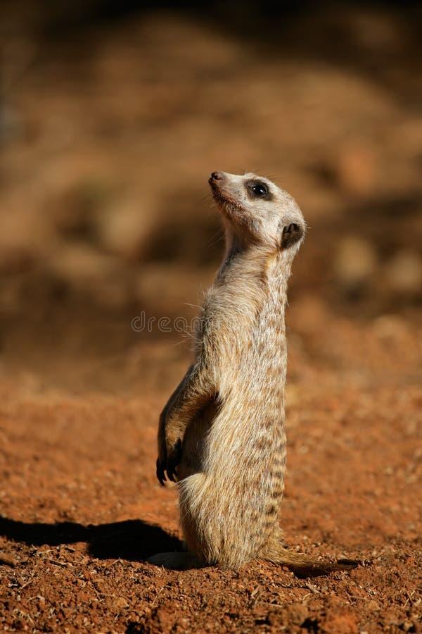 Meerkat alerte photo libre de droits