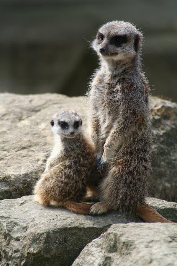 Free Meerkat And Kit (Suricata Suricatta) Stock Photography - 1095352