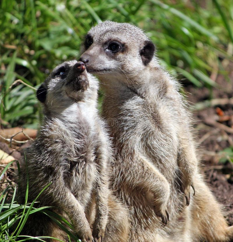 Meerkat animal stock image