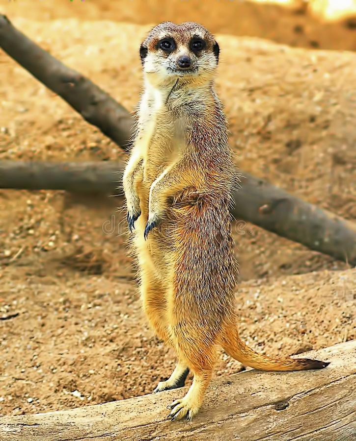 Meerkat Animal. These are the sweetest little animals. The meerkat or suricate is a small carnivoran belonging to the mongoose family. It is the only member of royalty free stock photography