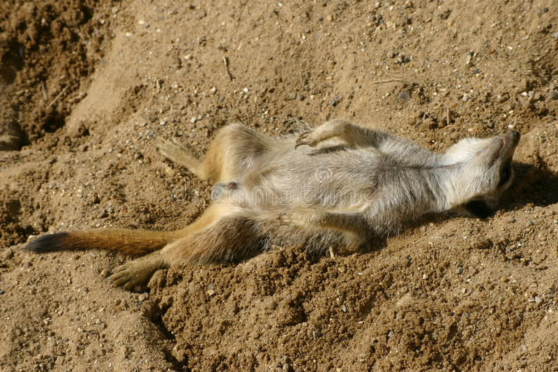 Meerkat asleep stock images