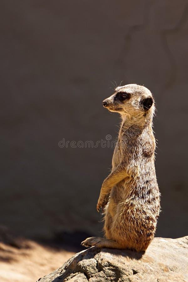 Meerkat auf Ausblick lizenzfreie stockfotografie