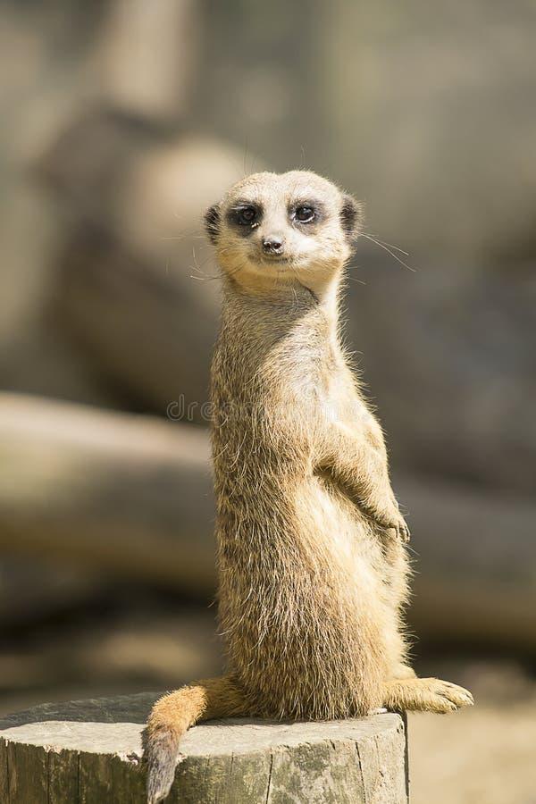 Meerkat auf dem Ausblick lizenzfreies stockfoto