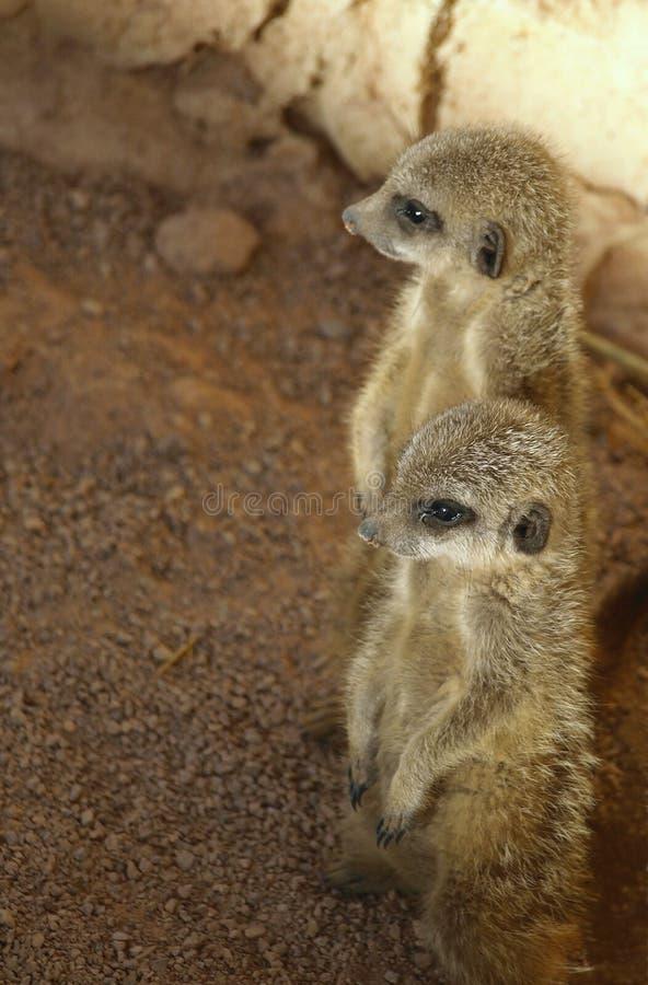 Meerkat babies royalty free stock photos