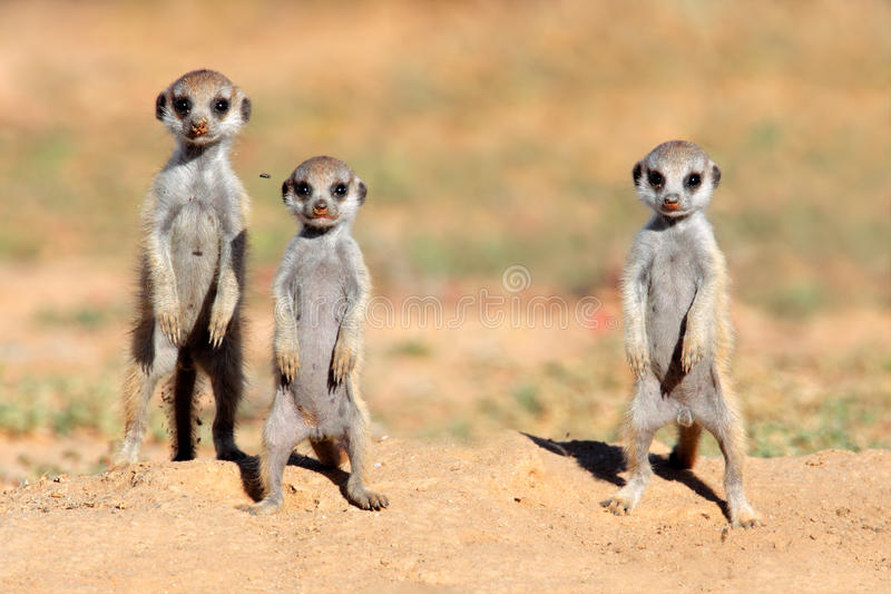 Download Meerkat babies stock photo. Image of cute, suricata, environment - 28869976