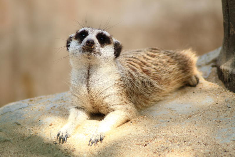 Download Meerkat, Bangkok Zoo Stock Photography - Image: 21456092
