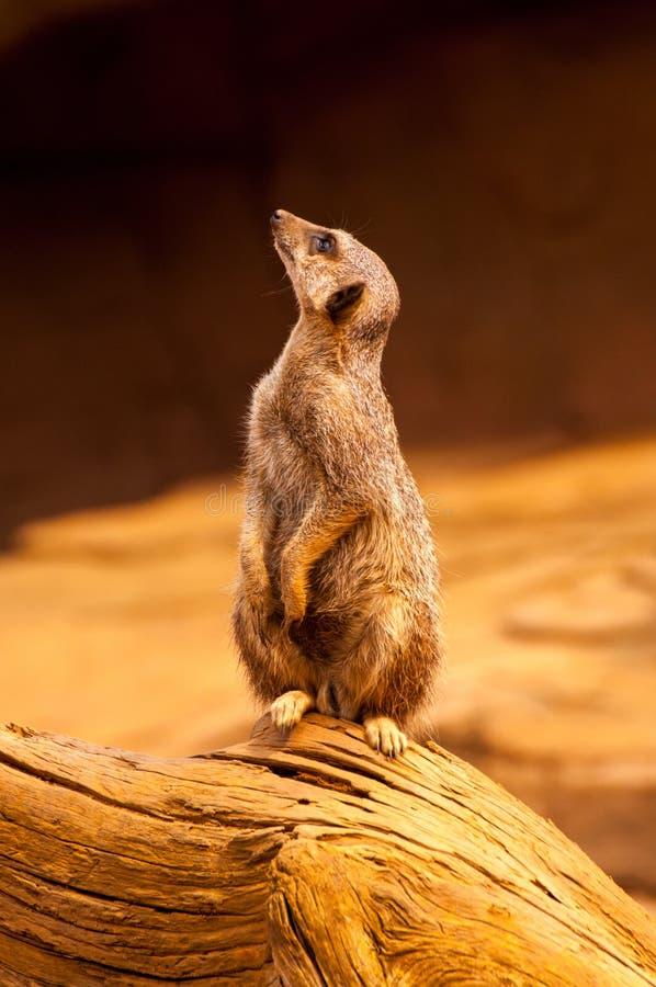 Meerkat bevindt zich rechtop stock foto's