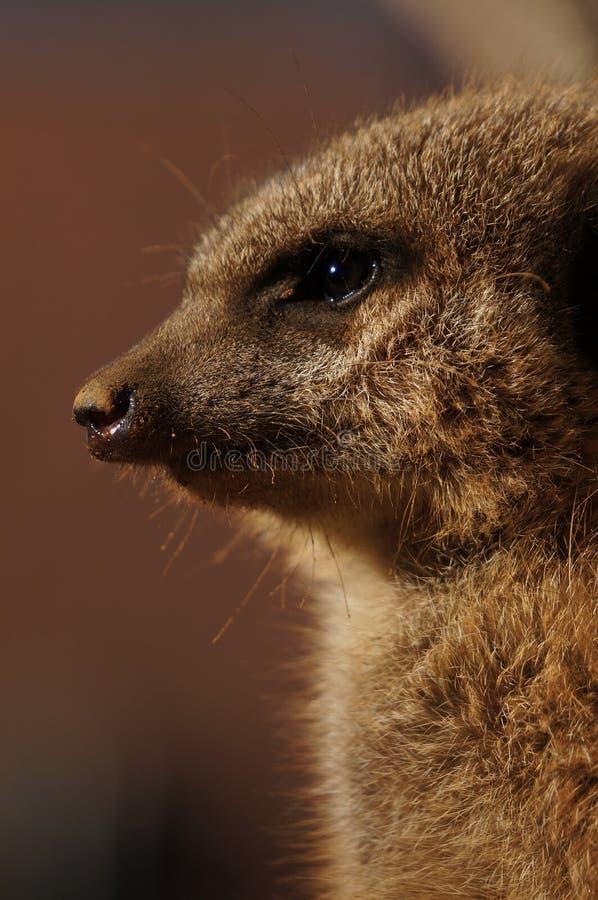 Meerkat boczny widok 2 zdjęcie royalty free