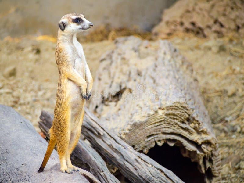 Meerkat bonito que animal pequeno sua posição para alertar o olhar em para a frente em uma madeira pequena que põe sobre a areia  imagens de stock royalty free