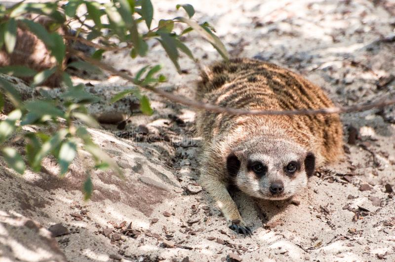 Meerkat caché sous l'arbre sur un sable, regardant directement, le parc zoologique photo stock