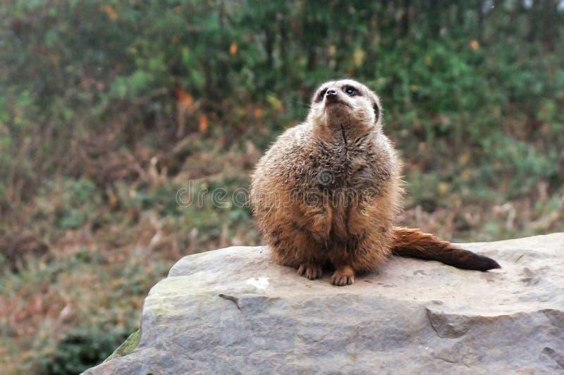 Meerkat che si siede sulla roccia immagine stock