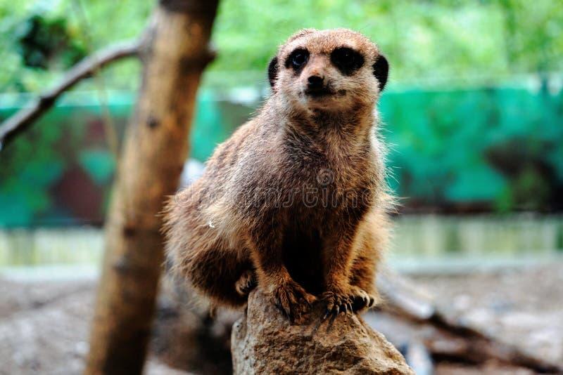 Meerkat che si siede sulla roccia fotografia stock