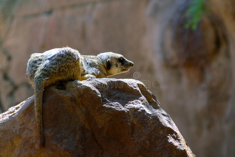 Meerkat che si siede sulla roccia fotografia stock libera da diritti