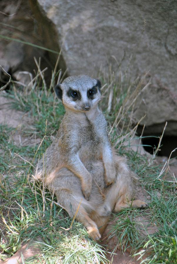Meerkat chilling in the shade on a hot summer day. While looking out for it`s family stock images