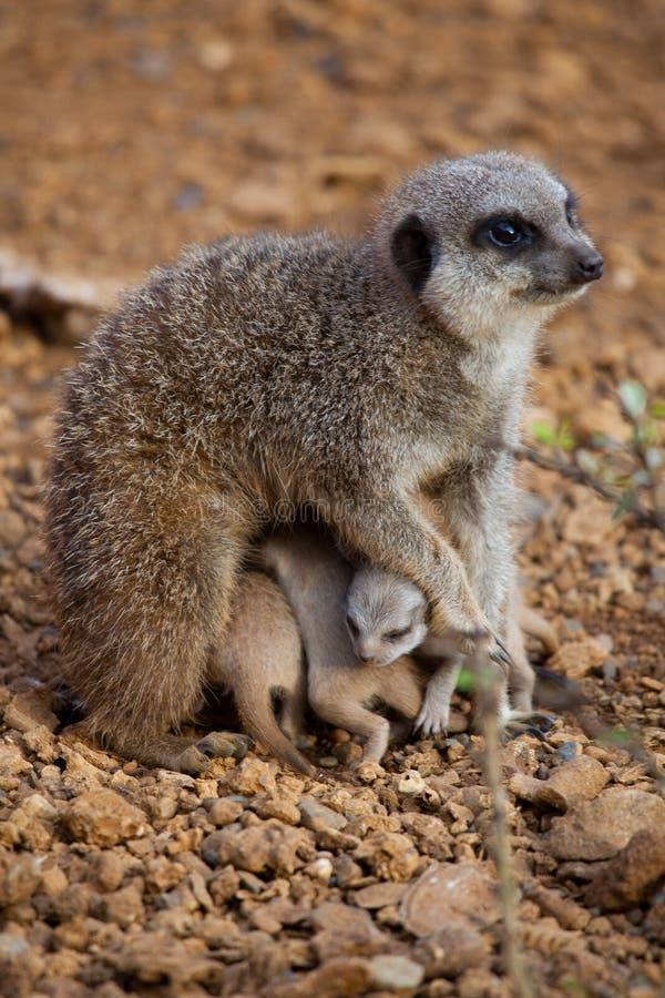 Meerkat ciucie skupiali się pod ich matką zdjęcia royalty free