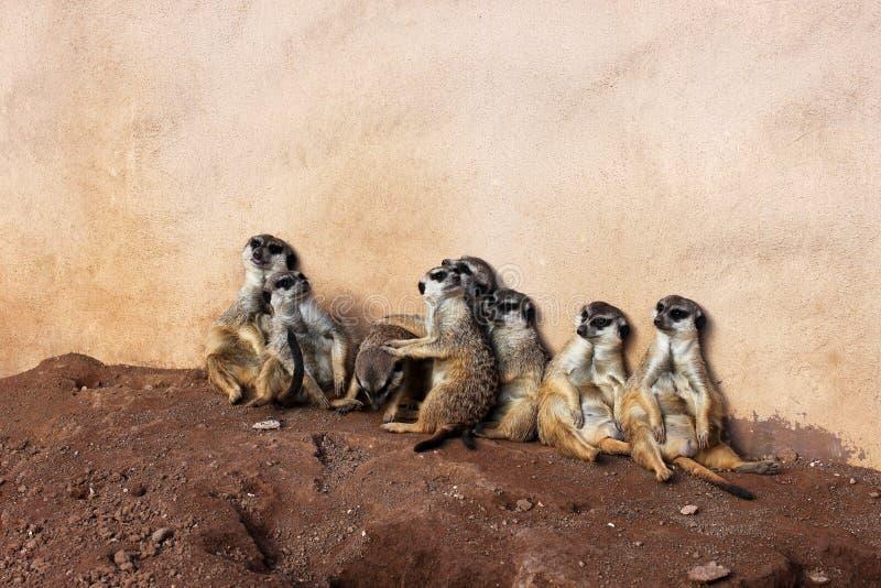 Meerkat clan in Palmitos Park, Gran Canaria, Spain royalty free stock photo