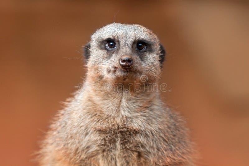Meerkat Close-Up royalty free stock photography