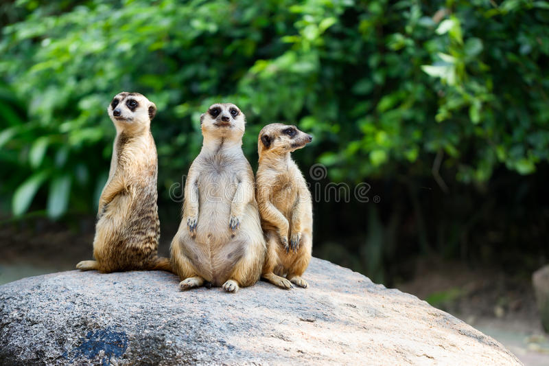 Meerkat. Closeup Meerkat sit on the rock, Nature background stock photography
