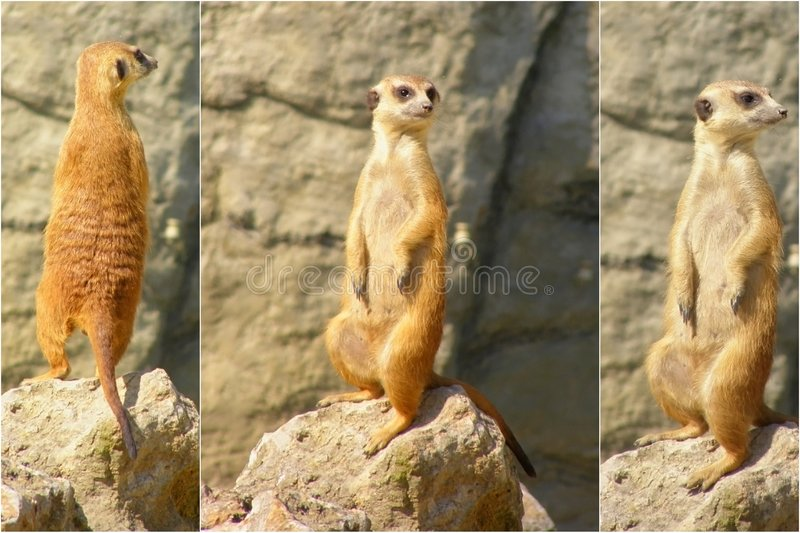 Meerkat collage stock photos