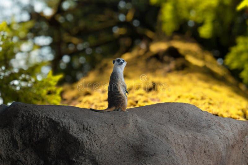 Meerkat continua a guardare fotografia stock libera da diritti