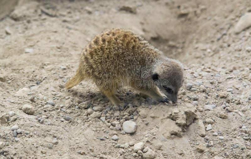 Meerkat creusant en terre pierreuse images stock