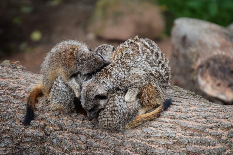 Meerkat cuddle stock images