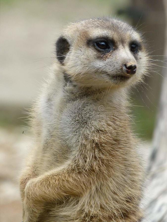 Meerkat stock photos