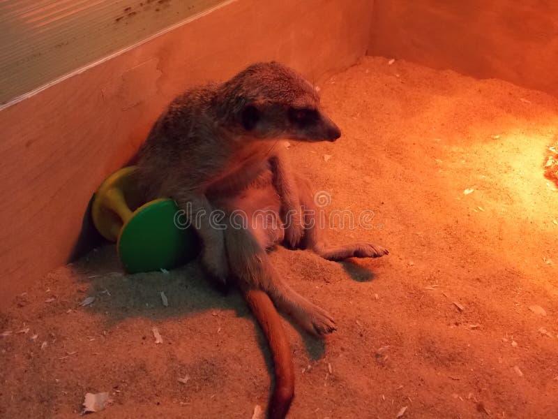 Meerkat dachte an den Lebenssinn stockfotografie