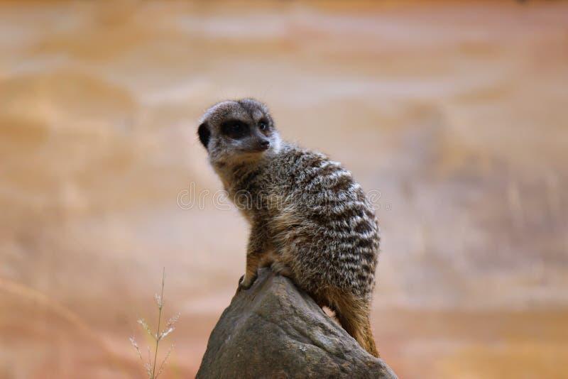 Meerkat, das auf dem Felsen, heraus schauend sitzt lizenzfreies stockfoto