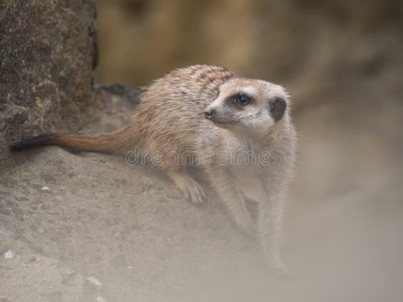 Meerkat, das auf einem Felsen sitzt lizenzfreies stockfoto