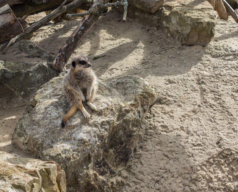 Meerkat, das auf einem Felsen sitzt lizenzfreie stockbilder