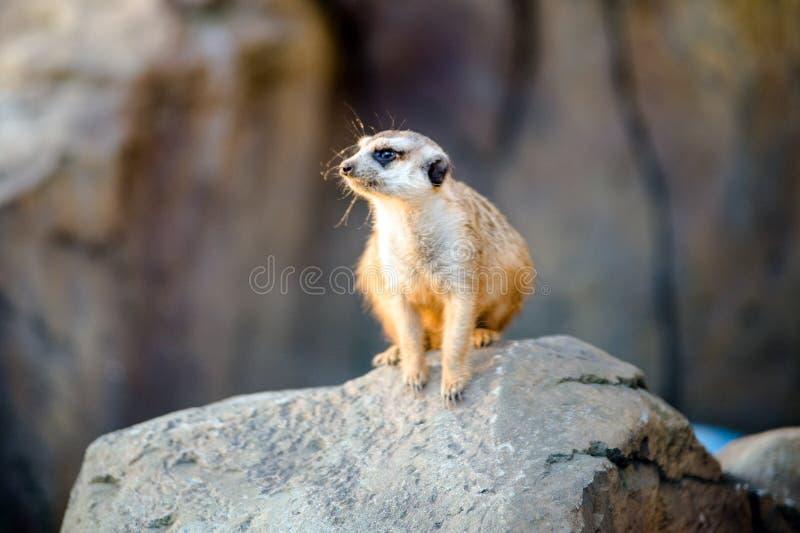 Meerkat, das auf einem Stein sitzt Meerkat Sitzen stockbilder
