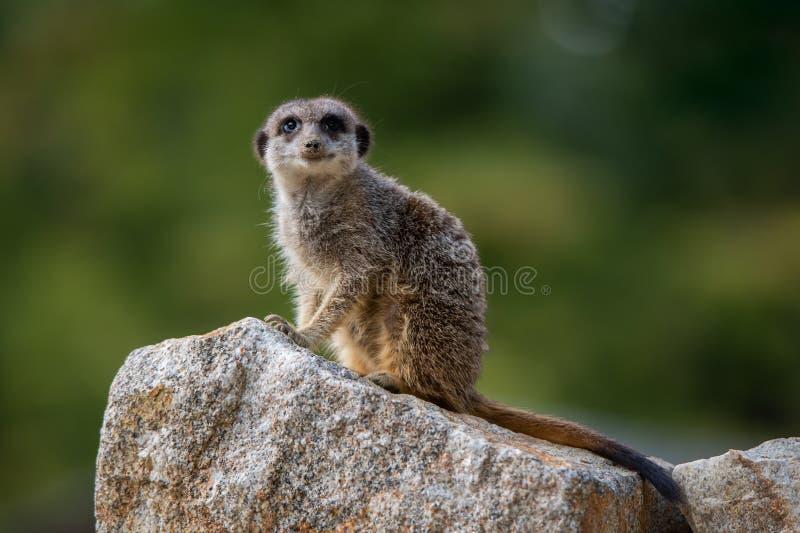 Meerkat, das auf einem Stein auf einem weichen grünen Hintergrund sitzt stockbild