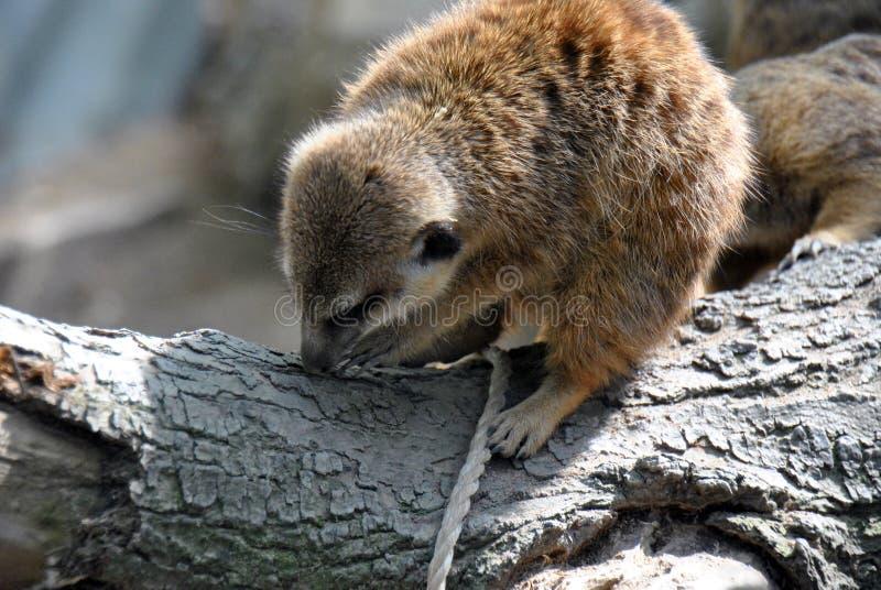 Meerkat, das an Holz arbeitet lizenzfreies stockbild