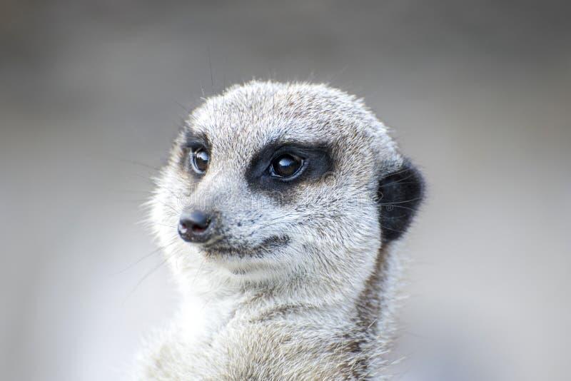 Meerkat, das nach links schaut lizenzfreie stockfotografie
