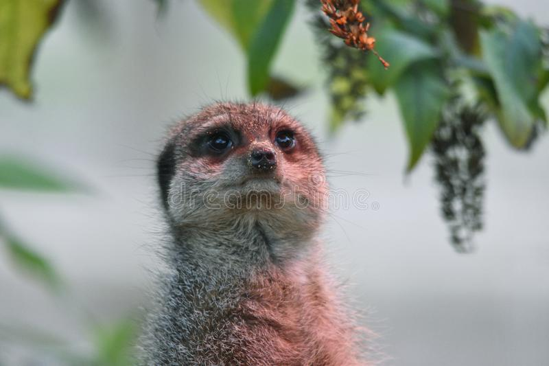 Meerkat, das oben schaut stockfotos