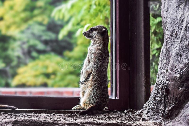 Meerkat de Brown na soleira imagens de stock