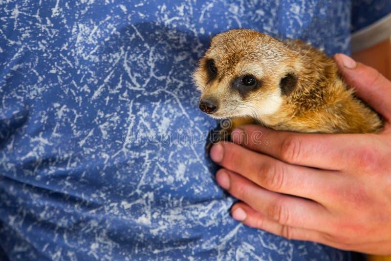 Meerkat de prise d'homme ou suricatta de Suricata sur des mains Mains en gros plan et meerkat photo stock