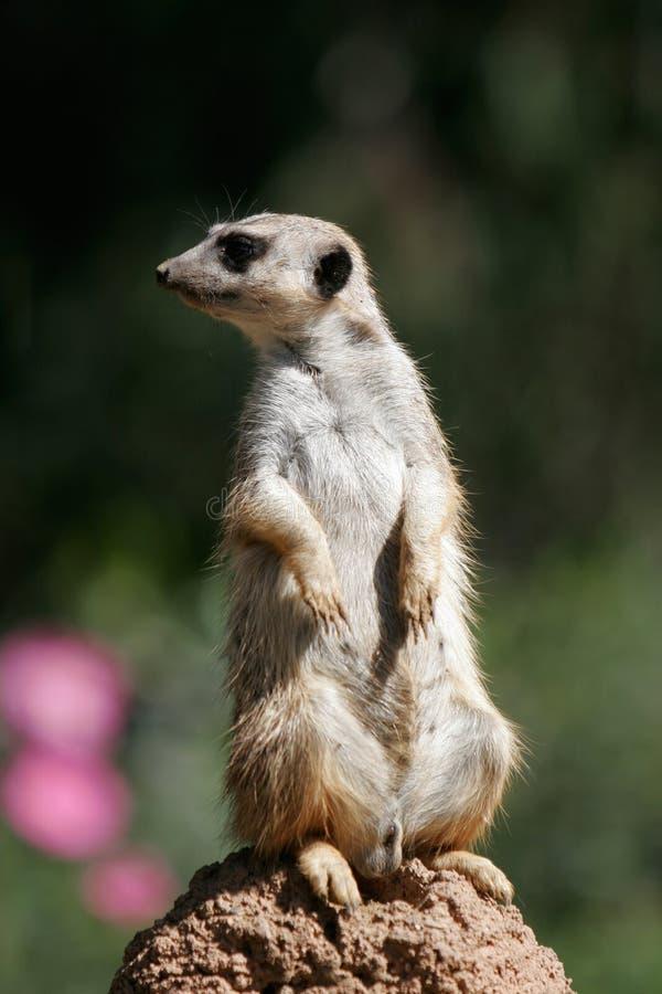 meerkat Delgado-atado imagens de stock